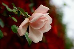 last rose in the garden............. (atsjebosma) Tags: wingerd boom tree pink roos garden tuin october autumn herfst herfstkleuren macro bokeh atsjebosma groningen thenetherlands nederland 2016 rose ngc