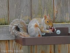 The Chestnut Eater (jimgspokane) Tags: squirrels wildlife spokanewashingtonstate nikonflickraward