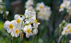 Daffodils (kud4ipad) Tags: 2015     kiev botanic garden flower