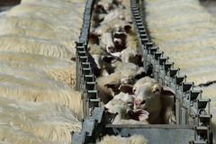 Beeee (massimiliano sicilia) Tags: pecora animale bianco sardegna
