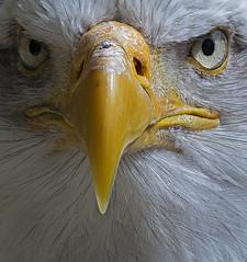 Bald eagle - up nice & close (colour) (ORIONSM) Tags: bald eagle prey bird raptor nature animal portrait start eyes beak closeup pentaxk3 sigma150500