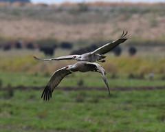 Sandhill Cranes (larryvenus) Tags: sandhillcranes sandhillcranesdancing cranes statenislandsandhillcranes consumnesriverpreserve centralvalleybirds nikon nikond500 tamron tamron150600mmlens sacramentobirds