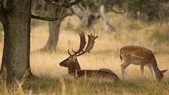 Bronst damherten awd (Alex Verweij) Tags: damhert deer male female bronst burlen gewei canon 5d alexverweij awd