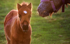 Summer sundown (Paula Darwinkel) Tags: horse foal pony nature sun sundown animal shetland