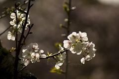 Cherry Blossom Bokeh 2 (C & R Driver-Burgess) Tags: blossom spring bokeh twigs leaves sunshine