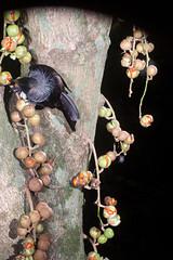 Tui (Prosthemadera novaeseelandiae) and Kohekohe (Dysoxylum spectabile) (Nga Manu Images NZ) Tags: dysoxylumspectabile fscientificnames feeding fruiting kohekohe plantsandfungi prosthemaderanovaeseelandiae trees