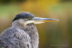 DSC_5124w (Danielle Champagne) Tags: heron greatblue oiseaux birds montreal nature outdoors