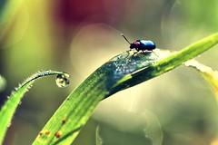 Beetlejuice. (Neal.) Tags: beetle beetlejuice macro grass water drop macromondays scotland field camera green small beetles