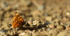 Al calor del sol (Lau Armoa) Tags: mariposa butterfly monarca naranja natural naturaleza nature sol sun tarde insecto insect outside orange photography afuera art arte afternoon fotografia d5200 nikon 1855mm day dia animal