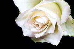 The rose (Sheldrickfalls) Tags: rose macro lightbox