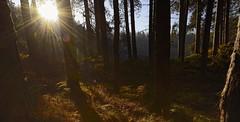 Formby Woods - November-2016_003_gpx (syberad) Tags: 2016 winter formby woods forest pine trees seaside coast coastal sssi sunrise morning landscape formbywoods formbynaturereserve merseyside november sunshot intothesun shadows shadow plants