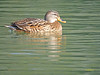 Hembra de Azulón (Anas platyrhynchos) (5) (eb3alfmiguel) Tags: aves acuaticas anade azulon hembra