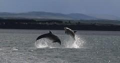 Dolphins, Scotland. (Seckington Images) Tags: dolphins scotland flickr wildlife highlands