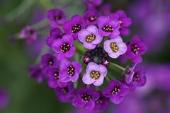 Fleurs en bouquet.... (yoduc73) Tags: fleur macro violet