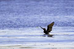 Cormoran à aigrette (yveshebert) Tags: oiseaux oiseauxduquébec outaouais ottawariver birds birdsinflight gatineau cheveuil