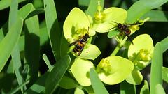 Potter Wasps Ancistrocerus kerneri (davidcawthraw) Tags: potterwasp ancistroceruskerneri