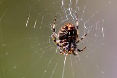 Aranae (Pablo Leautaud.) Tags: pex parqueecologicoxochimilco parqueecologico parque xochimilco ciudaddemexico df mexico naturaleza nature pleautaud suelodeconservacion cdmx araa aranae spider