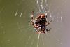 Aranae (Pablo Leautaud.) Tags: pex parqueecologicoxochimilco parqueecologico parque xochimilco ciudaddemexico df mexico naturaleza nature pleautaud suelodeconservacion cdmx araña aranae spider