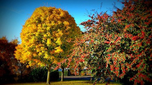Red Berries and Golden Leaves...a splash of colour before winter sets in.