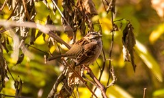 7K8A7654 (rpealit) Tags: scenery wildlife nature saffin rock rill mahlon dickerson reservation morris county park jefferson township whitethroated sparrow bird