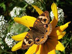 November Beauty (kendoman26) Tags: flower buckeyebutterfly yellow topazdetail topazsoftware fuji fujifinepix fujifinepixs1