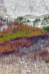 spectrum of survival (john dusseault) Tags: trees alberta fire mountain slope flickr gplus gt