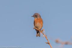 Western Bluebird (gvall66) Tags: az bluebird sedona sedonawetlandspreserve westernbluebird