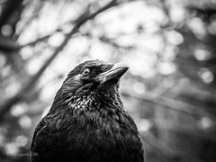 Portrait of a Corvid (amipal) Tags: bird capital corvid crow england gb greatbritain kewgardens london richmond uk