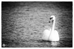 """""""Schwansinns"""" Klte auf dem Meer. #schwan #meer #kalt #eisig #schwarzweiss #blackandwhitephoto #pic #picofthedays #photography (gestalterecke.de) Tags: fotografie harrislee flensburg gestalterecke me follow photooftheday happy picoftheday swag amazing"""