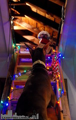 Day 5, 2016 (samd517) Tags: rugby bourbon attic maltese doberman ladder stairs wrapping paper stocking christmas lights 25 days climb leash free living decorations
