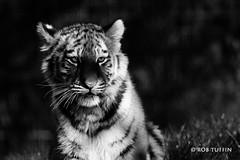 Tiger cub in the spotlight (rewtuffphotos) Tags: tiger tuffin canon marwellzoo zoo marwell cat wildlife nature blackwhite mono bw shade shadows amurtiger cub baby spotlight light animal monochrome