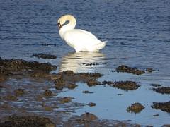 Swan reflected (Granpic) Tags: northumberland river rivercoquet bealbank swan reflection