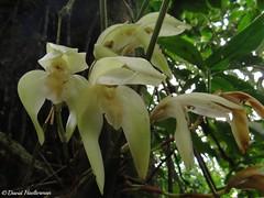 Ida fimbriata floreciendo in situ durante una caminata que he guiado en el  Valle del Cauca, Colombia. Distribucin: Colombia, Ecuador, Per y Bolivia desde 1000 hasta 2800 m snm. (David Haelterman) Tags: ida fimbriata idafimbriata sudamerlycaste sudamerlycastefimbriata orqudea orchid orchide orchideen colombia colombie valle cauca valledelcauca fleur flower plant plante ecuador equateur kolumbien lycaste lycastefimbriata peru prou per bolivia bolivie epiphyte epifta insitu