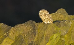 Little Owl at Dusk (Dave Brotherton Wildlife Photography) Tags: birds bird birdsofprey owl owls littleowl nature ngc nikon nationalgeographic night myautumn wildlife avian autumn countryside davebrothertonphotography d7100 tamron150600 tamron outabout outdoor