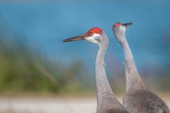 Sandhill Cranes (wn_j) Tags: birds birding crane sandhillcrane vierawetlands nature naturephotography animals wildlife wildanimals wildlifephotography floridabirds