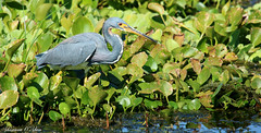 You never know until you tri (Shannon Rose O'Shea) Tags: shannonroseoshea shannonosheawildlifephotography shannonoshea shannon tricoloredheron heron bird blue green leaves water orlandowetlandspark christmas florida flickr wwwflickrcomphotosshannonroseoshea feathers beak nature wildlife waterfowl outdoors canon canoneosrebelt6i canon100400mm14556lis canont6i canoneost6i canonrebelt6i eost6i eosrebelt6i rebelt6i t6i redeyes