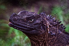 Lizard (apridinoto) Tags: lizard pasty yogyakarta wwf myphoto photooftheday photography animal wild life
