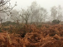 Dried ferns (cattan2011) Tags: ferns naturereservepark foggy trees natureperfection nature naturephotography landscapephotography landscape gentleshawcommon travelblogger traveltuesday travel england