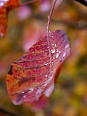 Rainy autumn 2 (Riccardo Palazzani - Italy) Tags: macro leaf red goccia drop foglia nature autumn fall bokeh lombardei ロンバルディ 伦巴第大区 lombardie ломбардия lombardia لومباردي 롬바르디아 italia italie italien italy 이탈리아 италия itália italië イタリア italya 意大利 إيطاليا riccardo palazzani veridiano3 olympus omd em1 droplets goccioline dew rugiada rain pioggia