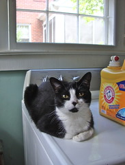 arm & hammer (rootcrop54) Tags: cat tuxedo tina catloaf laundryroom dryer cowcat maskedcat queenfortheday