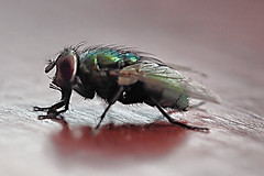 FLY  170613 GREENBOTTLE (spikeswurda) Tags: macro insect fly olympus ep3