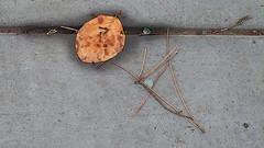 A04907 / evidence of rain (janeland) Tags: sanfrancisco california leaf sidewalk pineneedles damp underfoot evidenceofrain