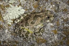 Canyon Treefrog (Hyla arenicolor) (aliceinwl1) Tags: az amphibia amphibian anura arizona arizona2013bugguide canyontreefrog chiricahuamountains chordata cochisecounty hyla hylaarenicolor hylidae arenicolor herp locnoone treefrog viseveryone