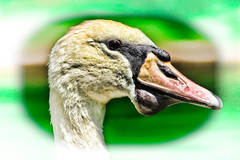 Swan (nigelwoollard) Tags: safaripark
