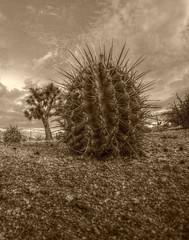 Cactus Joe (simbajak) Tags: cactus tree sepia clouds high desert joshua barrel joshuatree dirt mojave yucca gravel yuccabrevifolia mohave ferocactus brevifolia