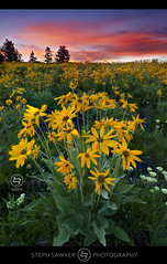 Mountain Gold (Steph Sawyer Photography (on and off)) Tags: flower yellow sunrise bravo colorful hole jackson wyoming grandtetons balsamroot grandtetonnationalpark mountainflowers muleears grandtetonwildflowers stephsawyerphotography