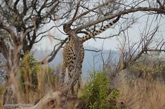 DSC_6475 (Arno Meintjes Wildlife) Tags: africa animal southafrica wildlife safari bigcat cheetah predator krugernationalpark krugerpark acinonyxjubatus arnomeintjes