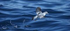 Fairy Prion (0ystercatcher) Tags: bird australia nsw eden fairyprion pachyptilaturtur geo:country=australia taxonomy:binomial=pachyptilaturtur taxonomy:common=fairyprion