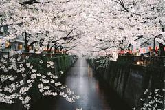 Sakura and canal geometries, Nakameguro, Tokyo (fabiolug) Tags: leica pink flowers trees tree film water lines japan 35mm japanese tokyo canal spring asia geometry rangefinder line summicron lanterns cherryblossom sakura cherryblossoms m6 nakameguro leicam6 fujicolor filmphotography leica35mm leicam6ttl pro160c 35mmsummicronasph fujfilm leicasummicron fujicolorpro160c sakuratrees summicron35mmf2asph fujifilmpro160c 35mmf2summicronasph summicronm35mmf2asph leicam6ttl072 believeinfilm