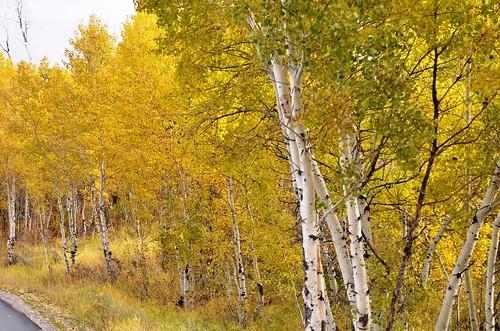 1616e autumn aspens